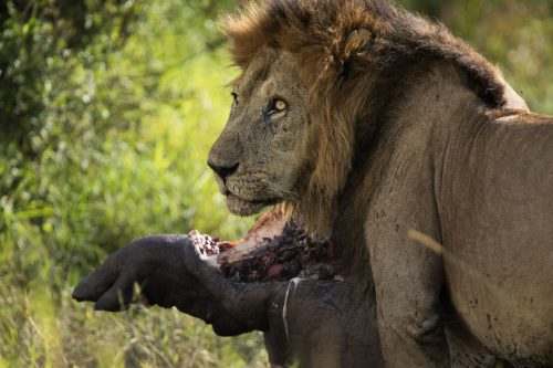 Male lion known as Doa keeping an ever watchful eye