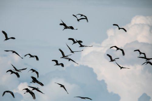 A huge flock of open-billed storks flying over the Mara River