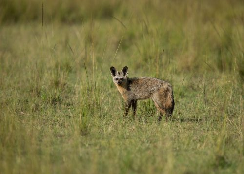 A very sweet, but ever-so-shy, bat-eared fox looked up just long enough to have his image cemented in the lens