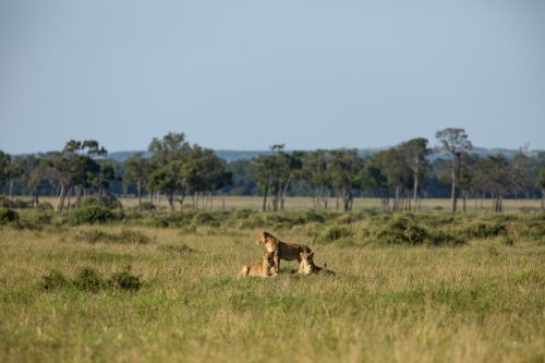 The River Pride is already one of the prides firmly under the watchful eye of the Bila Shaka Males
