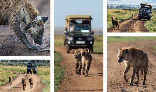 The hyena of the Mara Triangle up to their usual antics
