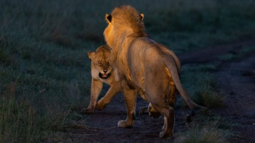 Caught in the headlights: Olalashe and a member of the Angama Pride