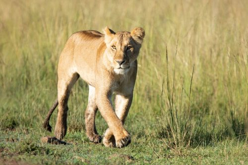 The Swamp Lioness looks on for her daughter