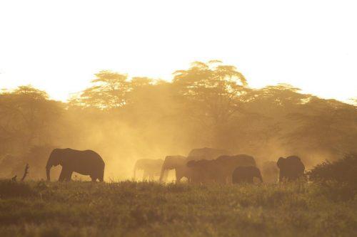 A breeding herd in the dust at dusk [Jeremy Goss]