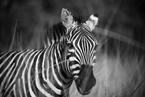 Zebra finding a refuge in the grass