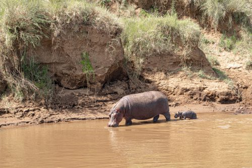 A mother hippo makes sure her calf gets its vitamin D