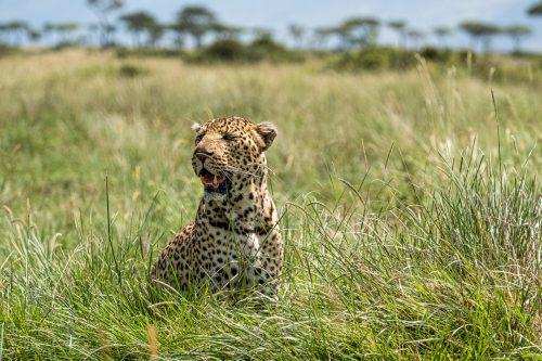 Above: Shepherd the super leopard is back