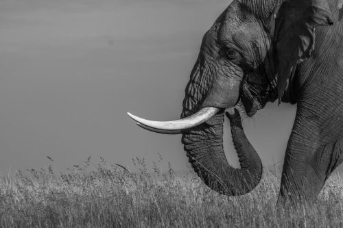 Capturing the intelligent wisdom of the elephant in black and white