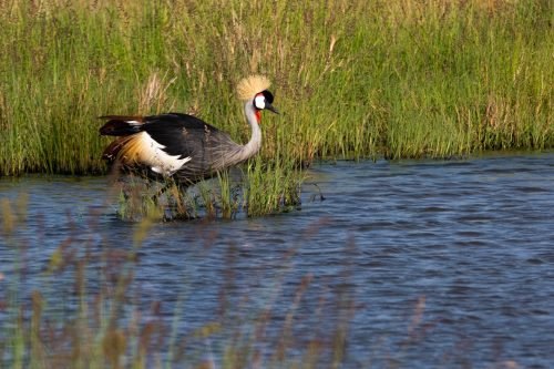 The Grey Crowned Crane – one of nature's finest architects