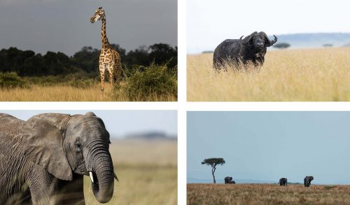 The Mara, now rich with sustenance, is a hive of activity