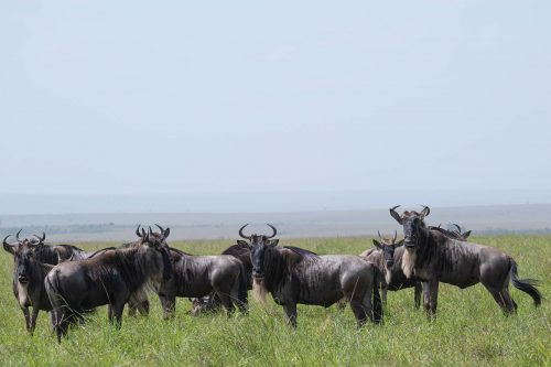 The wildebeests, the trailblazers of the Migration