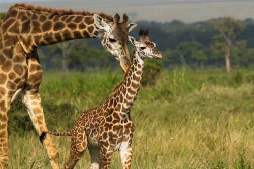 Above: a mother giraffe double checks that she's got the right calf