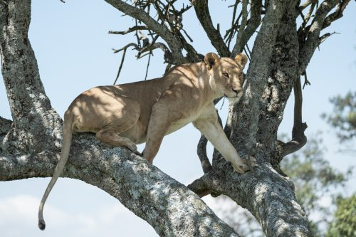 An Angama Pride lioness perches in a tree