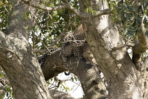 A first-time-sighting of leopards mating in a tree