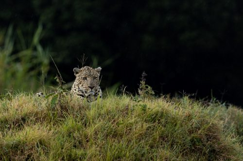Confident and well established, the Sheperd Tree Male is a Mara favourite