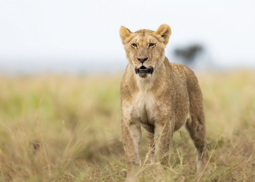 A lioness from the Owino Pride looks out over her hunting ground
