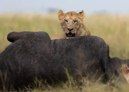 A buffalo is a great feast for the Owino Pride