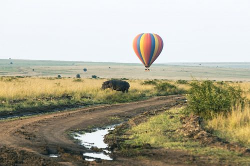 Above: A lone hippo out for a morning walk