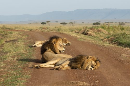 The three Inselberg males enjoy a mid-morning snooze on the main road without a car in sight