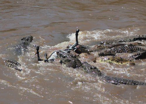 A crocodile feeding frenzy during the first crossing of the season taken by Angama Mara guest, Heidi Hyland