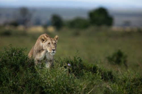 The light lioness from the Angama Pride goes in search of prey