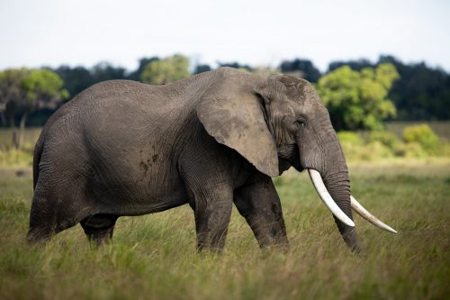 The elephants are enjoying the long grasses before the migration comes and devours it all