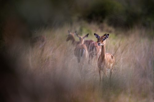 An impala senses the oncoming lack of personal space as the migration looms