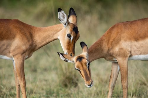 Female impalas take turns grooming each other