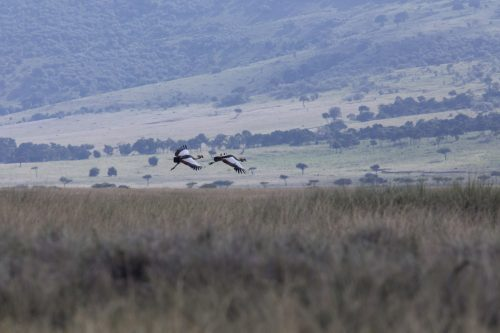 A pair of grey-crowned cranes take flight