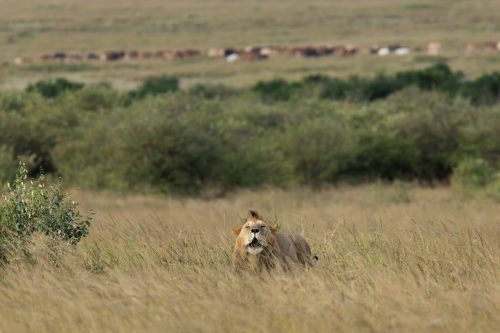 Immediately after each mating session, the male roars in an obvious sign of dominance. In the background, far in the distance, some Maasai herdsman graze their cattle
