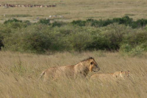 A male lion mating with a member of the River Pride