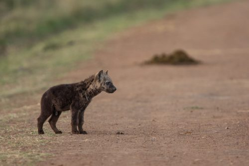 The Oloololo Clan den site is incredibly productive with as many as six youngsters