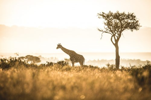 A golden morning moment with a lone giraffe