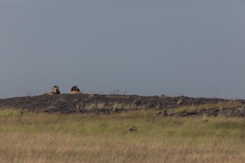 Two of the Inselberg males enjoying the morning sun on a rock located on the Kenya/Tanzania border