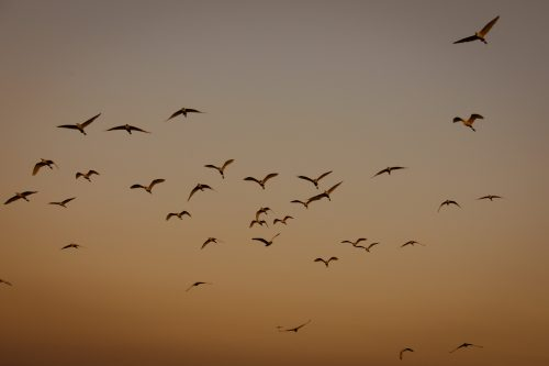 A flock of cattle egrets at sunset
