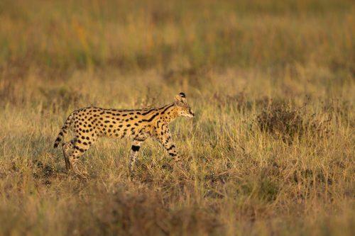 A rare serval at first light