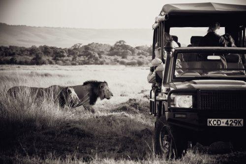 Two of the Bila Shaka Males casually walk past Lemaalo's vehicle