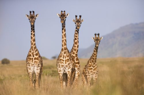 The Maasai giraffe has different shaped 'blotches' that run all the way to their hooves