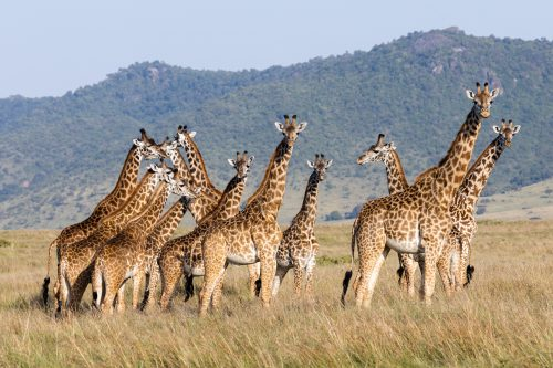 We get Maasai giraffe here, which are the largest subspecies of giraffe
