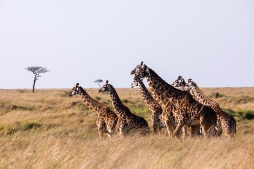 Above: a journey of giraffe looks out over the Mara Triangle as it slowly begins to fill with zebra