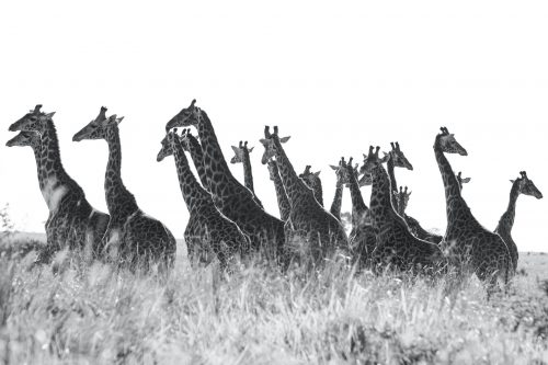 A journey of giraffe in back and white
