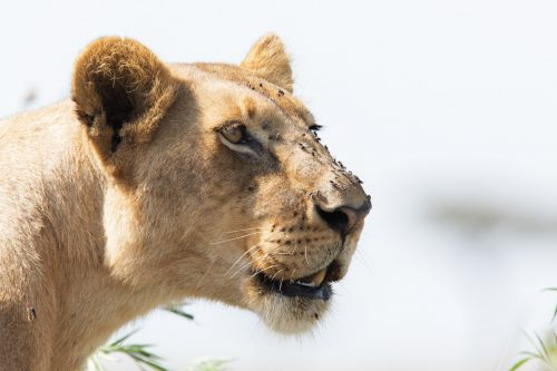 A lioness from the Sausage Tree Pride calls for members of her family