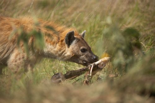 A hyena finishing off the last of a zebra meal