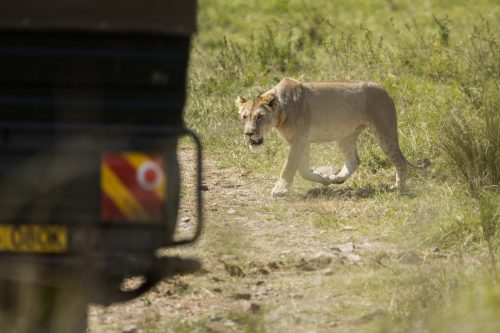 An Angama Pride lioness crosses the track