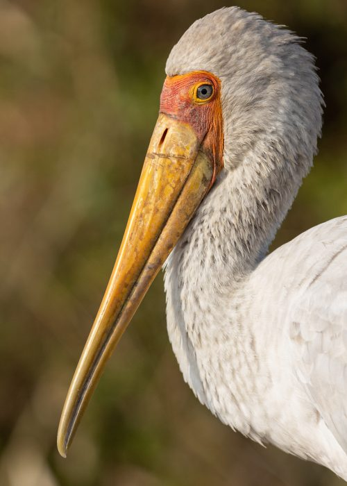 The details of a yellow-billed stork