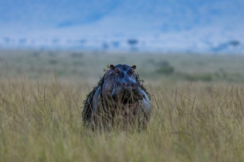 A hippo carrying a load of aquatic vegetation