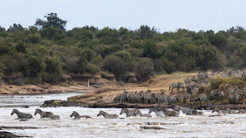 Approximately 300 zebra crossed in this herd