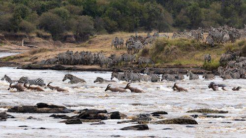 Topi join the zebra in the mad dash across the Mara River