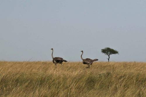 The ostriches dash off across the plains to find some peace and quiet