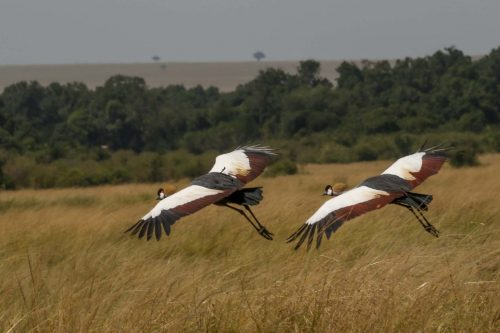 A pair of grey crowned cranes take to the wing